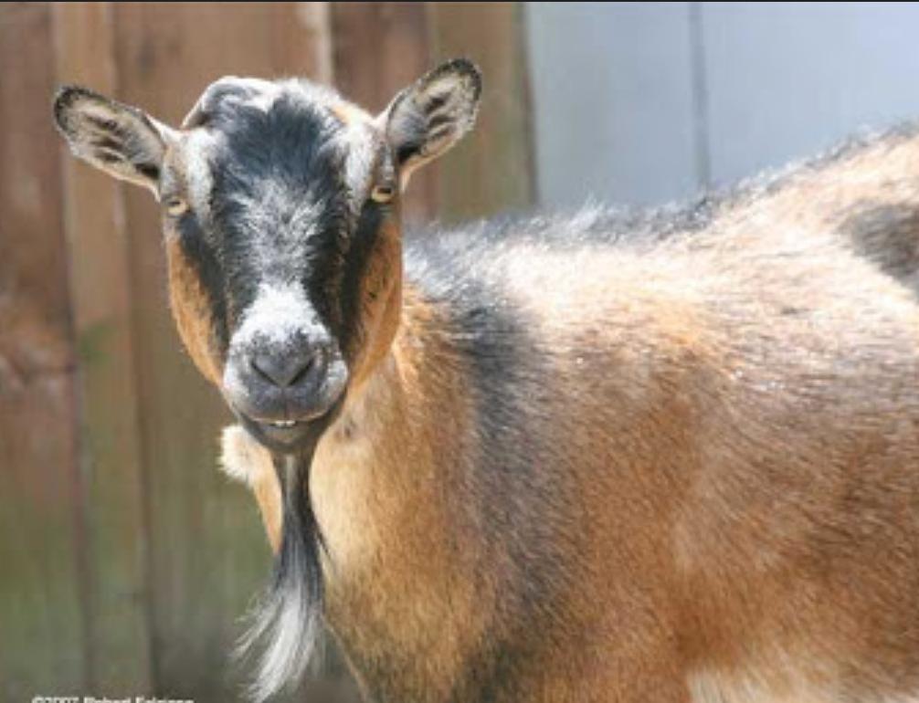 Это изображение имеет пустой атрибут alt; его имя файла - goat_beard.jpg